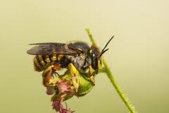 Grote Wolbij, Carder μαλλιού μέλισσα, manicatum Anthidium στοκ εικόνα