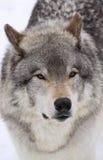 Grote wolf Royalty-vrije Stock Afbeeldingen