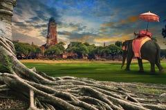 Grote wortel van banyan boom en koninkrijksolifant die zich tegen La kleden stock foto