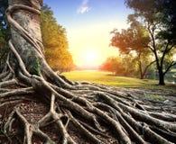 Grote wortel van banyan boom in groen park stock afbeelding