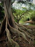 Grote wortels die van Vijgeboom uit langs de grond naast vijver op Kauai Hawaï bereiken stock afbeeldingen