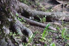 Grote wortels van grote oude boom Royalty-vrije Stock Afbeeldingen