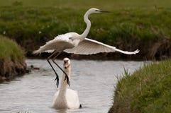 Grote Zilverreiger, Great Egret, Casmerodius albus royalty free stock photos