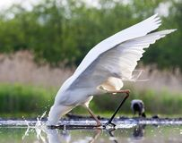 Grote Zilverreiger, Western Great Egret, Ardea alba alba. Grote Zilverreiger jagend bij wak; Western Great Egret hunting at ice hole royalty free stock images