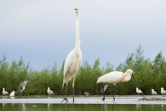 Grote Zilverreiger, Western Great Egret, Ardea alba alba stock photography