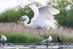 Grote Zilverreiger, Western Great Egret, Ardea alba alba. Grote Zilverreiger vangt vis uit wak; Western Great Egret catching fish from ice hole stock photo