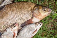 Grote zoetwater gemeenschappelijke brasem en witte brasem of zilveren brasemvissen Stock Afbeelding