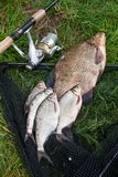 Grote zoetwater gemeenschappelijke brasem en witte brasem of zilveren brasemvissen royalty-vrije stock afbeeldingen