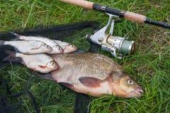 Grote zoetwater gemeenschappelijke brasem en witte brasem of zilveren brasemvissen stock foto's