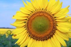 Grote zonnebloem Royalty-vrije Stock Afbeeldingen