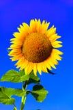 Grote zonnebloem Royalty-vrije Stock Foto