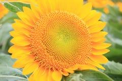 Grote zonnebloem Stock Fotografie