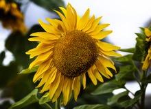 Grote zonnebloem Royalty-vrije Stock Foto's