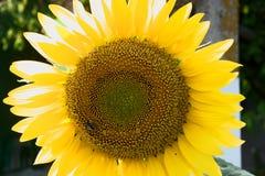 Grote zonnebloem en kleine bij royalty-vrije stock afbeelding