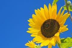 Grote zonnebloem op blauwe hemel Royalty-vrije Stock Foto's