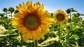 Grote zonnebloem op een zonnebloemgebied Stock Foto's