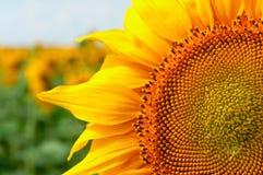 Grote zonnebloemenbloem bij het gebied in de zomer Stock Afbeelding