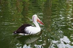 Grote zwart-witte pelikaan Stock Foto