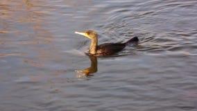 Grote zwarte aalscholver die voor vissen in de delta van Donau duiken stock video