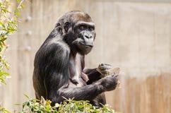 Grote Zwarte Gorilla Stock Afbeelding