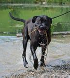 Grote zwarte hond, Cane Corso royalty-vrije stock afbeeldingen