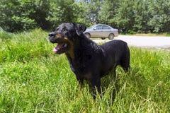 Grote zwarte natte hond - rottweiler Stock Foto