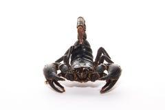 Grote Zwarte Schorpioen Royalty-vrije Stock Foto