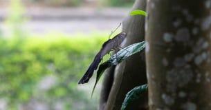 Grote zwarte vlinder Royalty-vrije Stock Foto