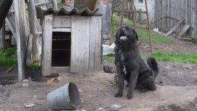 Grote zwarte yardhond op een ketting stock footage