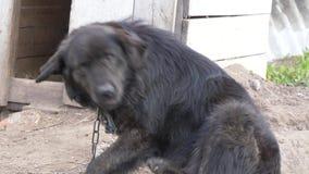 Grote zwarte yardhond op een ketting stock videobeelden