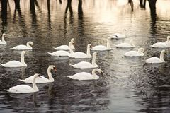 Grote zwerm van zwanen op de rivier royalty-vrije stock fotografie
