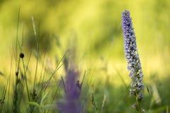 Grotemuggenorchis - Geurige orchidee - Gymnadenia-conopsea Stock Fotografie