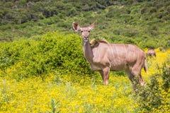 Groter kuduclose-up, Zuid-Afrika royalty-vrije stock foto