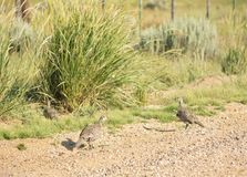 Groter Sage Grouse Hen With Chicks royalty-vrije stock foto's