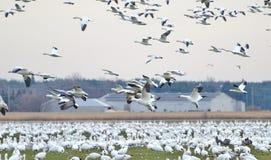 Groter Sneeuwganzen het migreren zuiden Royalty-vrije Stock Afbeeldingen