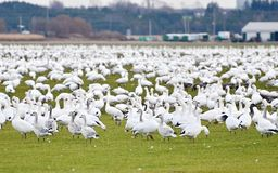 Groter Sneeuwganzen het migreren zuiden Royalty-vrije Stock Foto