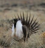 Groter urophasianusn SE Wyoming van wijs-Hoencentrocercus 5 Stock Foto's