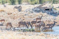 Groter van kudukoeien en kalveren drinkwater Stock Fotografie