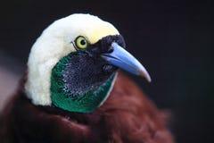 Groter vogel-van-Paradijs royalty-vrije stock afbeeldingen