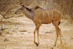 Groter wijfje Kudu Royalty-vrije Stock Foto's