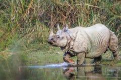 Grotere één-Gehoornde Rinoceros in het nationale park van Bardia, Nepal Royalty-vrije Stock Afbeeldingen
