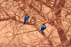 Grotere blauw-Eared Glanzende Starlings royalty-vrije stock afbeelding