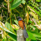 Grotere coucal Stock Fotografie
