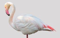 Grotere die flamingo op witte achtergrond wordt geïsoleerd Royalty-vrije Stock Foto's