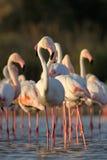 Grotere Flamingo Stock Foto's