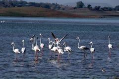 Grotere flamingo Royalty-vrije Stock Afbeeldingen