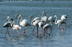 Grotere flamingo Stock Afbeelding