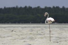 Grotere flamingo Royalty-vrije Stock Afbeelding