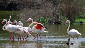Grotere flamingo Royalty-vrije Stock Foto