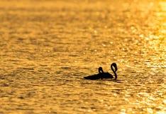Grotere Flamingo die in het ochtend gouden licht waden stock foto